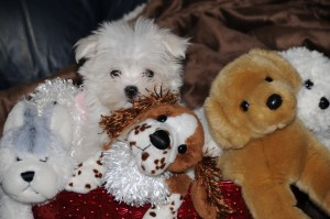 Cosette ~ my first maltese!