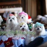 Merry Christmas from Team Maltese Obsession