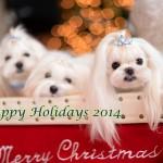 Happy Holidays Video ~~ Maltese Having Fun!