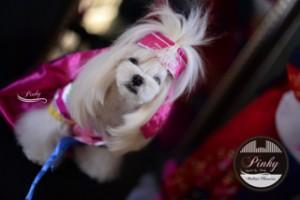 Pinky is a Korean Princess - Korean cut Face on a Pretty Maltese