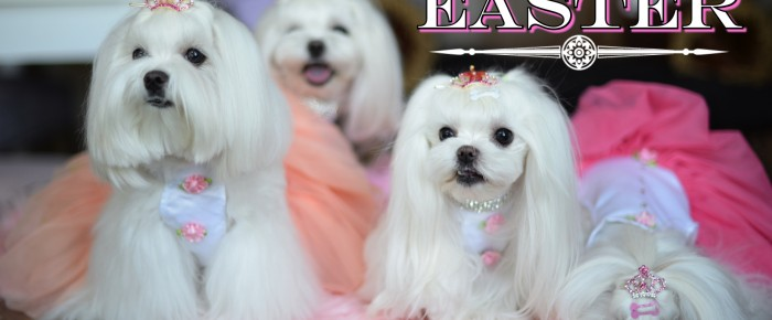 Happy Easter 2015 from Team Maltese Obsession