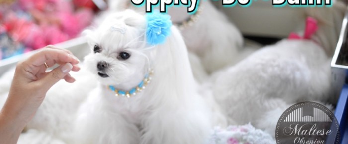 Maltese GROOMING:   Uppity-Do-Dah Hairstyles