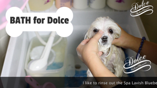 BATH – How We BATH a MALTESE DOG at Home