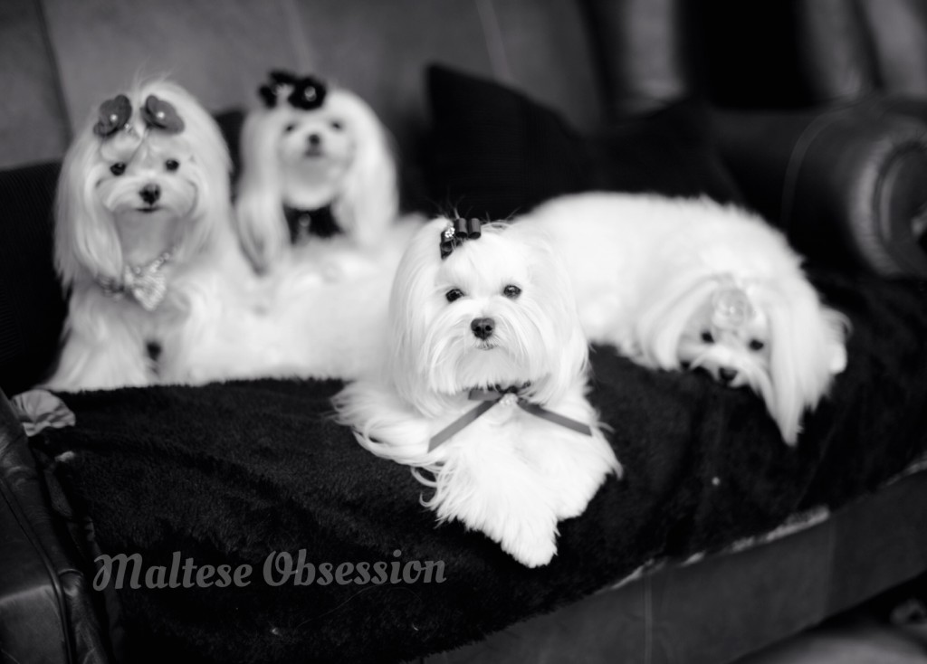 Maltese Obsession