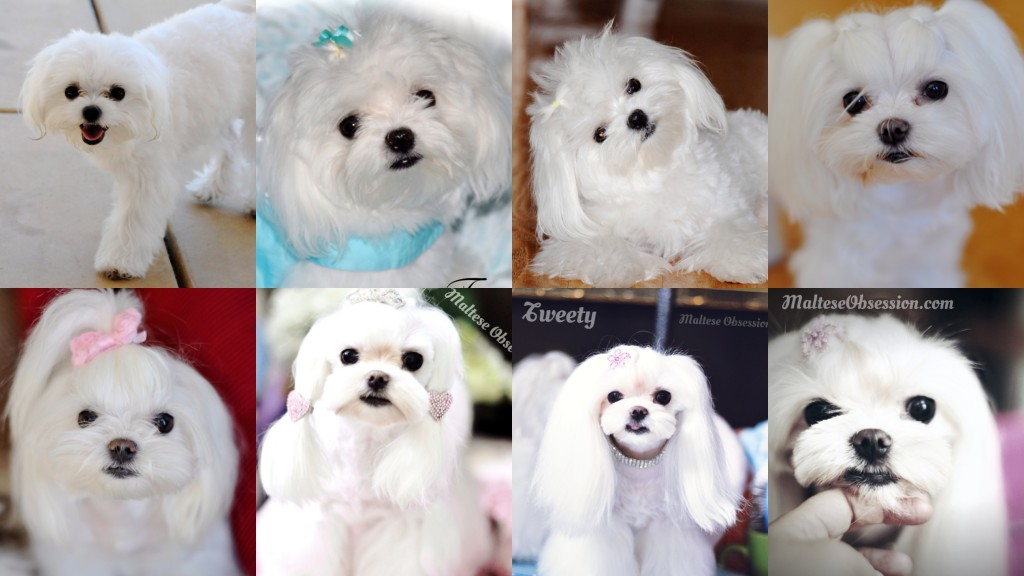 Tweety went from my mother's groomers hands to mine ~~ quite a few changes