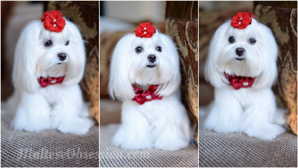 Dolce's Winter White ~ How we get Dolce the Maltese Clean and WINTER WHITE