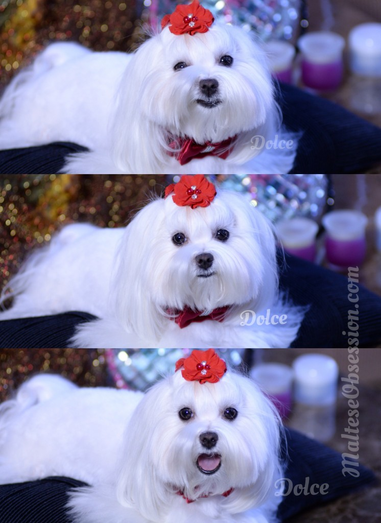 How we get our Maltese WINTER WHITE Clean